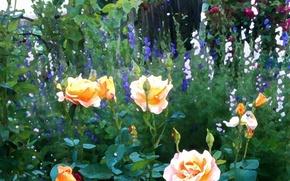 Картинка цветы, забор, розы, Природа, кусты