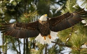 Картинка ветки, птица, крылья, ястреб, белоголовый орлан