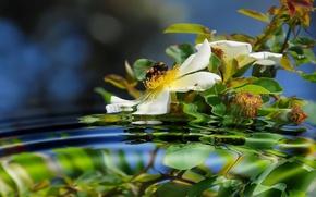 Обои шиповник, отражение, пчела