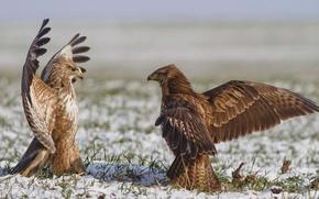 Обои ястреб, крылья, поле, птица, небо, танец