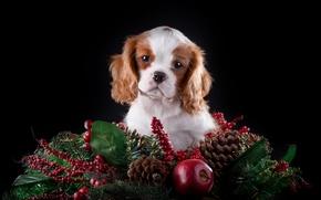 Картинка яблоко, ель, милый, щенок, шишки, порода, Кавалер кинг чарльз спаниель