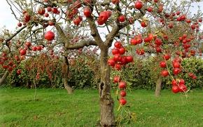 Обои дерево, яблоки, сад, урожай