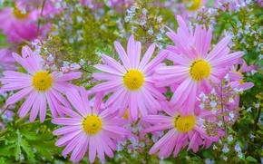 Картинка лепестки, розовые, хризантемы