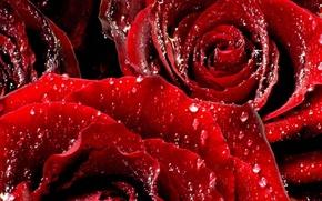 Обои цветы, макро, розы, бутоны