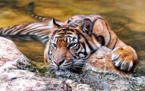 Картинка природа, тигр, фон