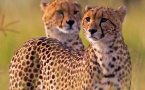 Картинка гепард, Африка, дикая кошка, гепарды