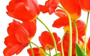 Картинка листья, цветы, яркие, красота, букет, лепестки, тюльпаны, красные, red, алые, flowers, beauty, scarlet, petals, bright, …