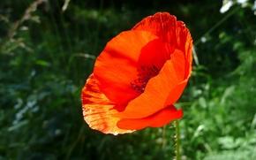 Картинка зелень, красный, Цветок, 151
