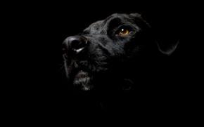 Картинка морда, собака, уши, Dog, пёс