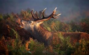 Картинка лес, природа, олень, red, forest, nature, animal, deer, wild, Emi, stag