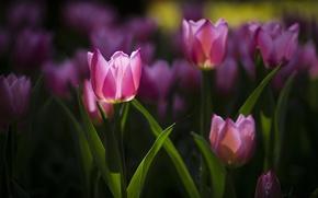Картинка цветы, весна, тюльпаны, розовые, клумба