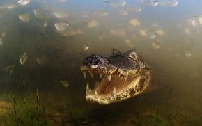 Картинка Brazil, Brasil, River, Caiman, Alligator, Pantanal, Mato Grosso, Fishes, Aquatic Vegetation, Teeths