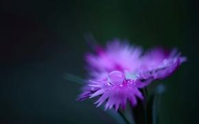Картинка цветок, вода, макро, роса, розовая, растение, цвет, капля, лепестки, гвоздика, полевой