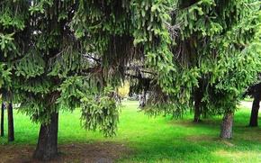 Картинка лето, ель, хвоя, Еловый лес