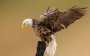 Картинка глаза, крылья, ветка, клюв, белоголовый орлан, открытые крылья, живая природа
