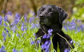 Картинка цветы, собака, колокольчики, Лабрадор-ретривер