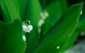 Обои белый, цветок, листья, макро, весна, зеленые, ландыш