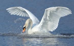 Обои лебедь, вода, крылья, птица, взмах, брызги