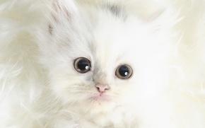 Обои взгляд, белый, кошак, Шерсть