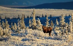 Картинка Alaska, winter, sunlight, meadow, wildlife, moose, United Staes