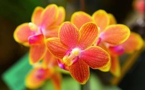 Картинка макро, цветы, орхидеи, orchid