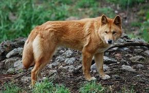 Картинка природа, хищник, пес, динго