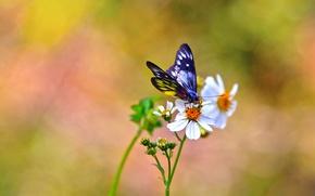 Картинка цветы, фон, бабочка, белые, космея