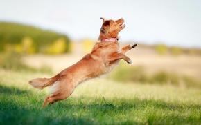 Картинка прыжок, боке, retriever