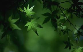 Картинка лето, макро, ветки, листва, клён