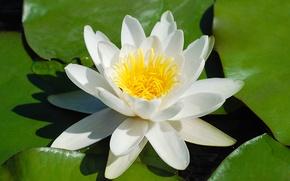 Картинка цветок, листок, лилия, бутон, кувшинка, белая, красивая, в воде, летом, днем, в водоеме