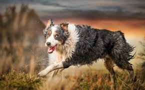 Обои собака, взгляд, бег, друг