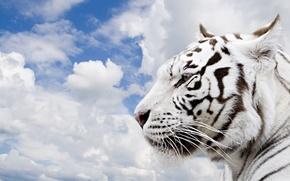 Обои тигр, небо, облака