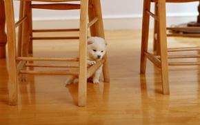 Обои животные, белый, ситуации, дерево, стулья, собака, пушистый, стул, деревянный, собачка