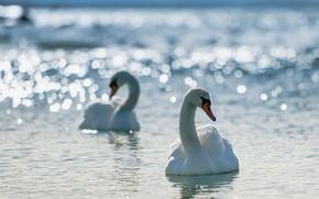 Картинка Cool, nature, birds, gingerid, Swans