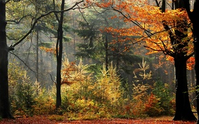 Картинка осень, лес, деревья, туман, растения, forest, trees, Autumn, leaves, fog, fall