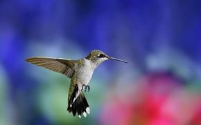 Картинка полет, фон, птица, крылья, размытость, колибри, птичка, разноцветный, взмах, Hummingbird