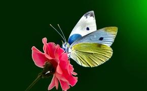 Картинка цветок, глаза, бабочки, крылья, точки, стебель, усики, flower, wings, butterfly, eye, dots, stalk, antennae, open …