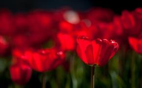Картинка цветы, яркие, весна, тюльпаны, розовые