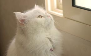 Картинка кошка, взгляд, кошак, фон, кот