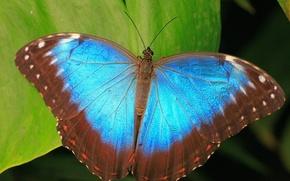 Обои синий, бабочка, листья