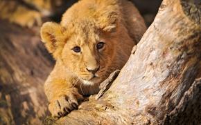 Картинка дерево, хищники, лев, пни, бревно, малыши, дикие кошки, львы, пеньки, пенёк