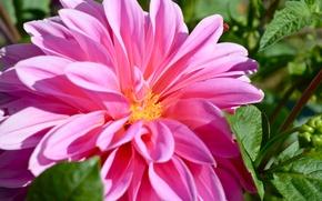 Картинка макро, розовый, Цветок, pink, flowers, macro