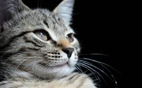 Картинка животные, Кошка, монохром