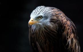 Картинка птица, хищник, клюв, оперение, белоголовый орлан, hawk