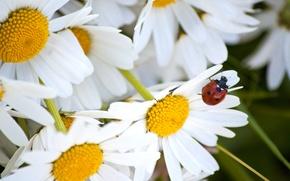 Картинка лето, макро, божья коровка, ромашки, лепестки, насекомое