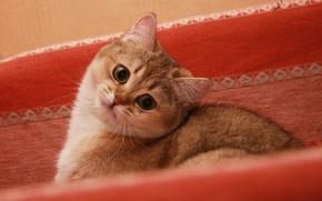 Обои кошка, кот, красивый, хитрый