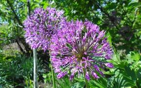 Картинка фиолетовый, весна, шарик, пушистый, декоративный чеснок