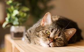 Картинка кошка, цветок, взгляд, мордочка, лежит