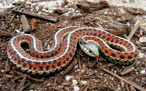 Картинка язык, змея, Coast Garter