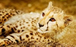 Картинка хищник, гепард, дикая кошка